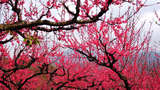 连平桃花朵朵开 赏桃花转桃花运1日游