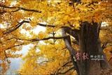 广东最美的金秋童话: 南雄银杏之乡.小九寨沟.黄金大道.摄影之旅